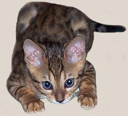 Bengal kitten in play mood