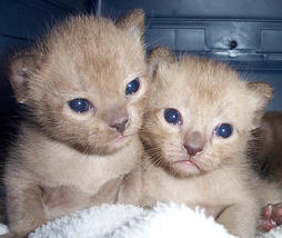 Burmese Cats Gallery
