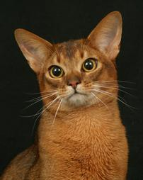 Abyssinian face