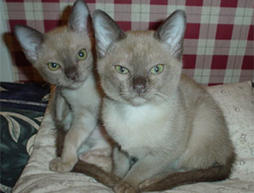 Two Burmese in beige and brown