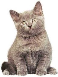 Chartreux Cats Pictures
