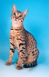 Ocicat in beige with black dots