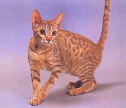 ocicat in gold and brown