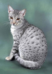 Ocicat in white and gray