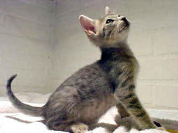 ocicat kitten in gray with black dots