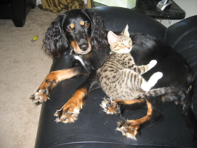 Ikitten and dog photo