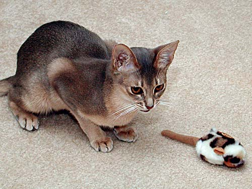 Blue Silver Abyssinian Cat