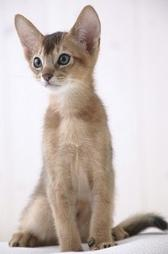 Abyssinian Cats Gallery