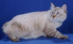 American Bobtail cat in beige with brown stripes