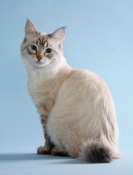 American Bobtail cat in beige with spots of black
