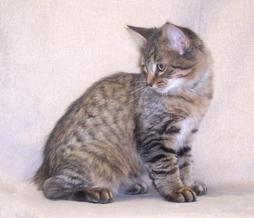 American Bobtail cat in gray, beige, black