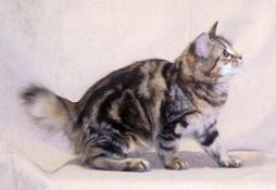 American Bobtail cat with bush tale