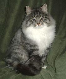 American Bobtail cat with thick coat