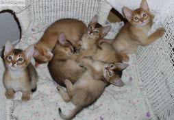 Six young Abyssinian kittens