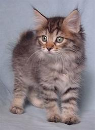 American Bobtail kitten in gray with black stripes with dash of tan