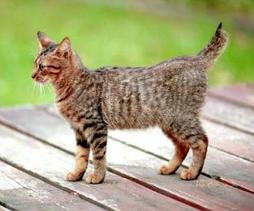 American Bobtail kitten in gray with black stripes