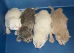 baby young American Bobtail kittens