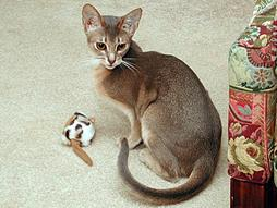 skinny Abyssinian cat with a toy