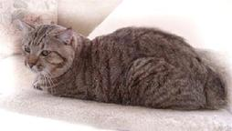 big American Bobtail cat in gray with black stripes