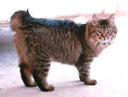 big American Bobtail cat