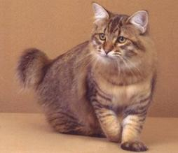big fury American Bobtail cat