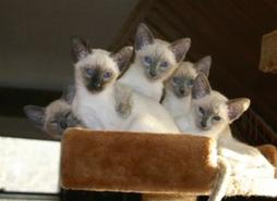 pic of Siamese kittens.jpg