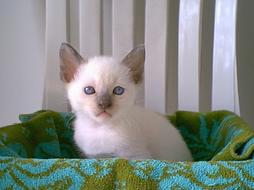 picture of Siamese kitten with a sad face expression.jpg
