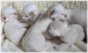picture of Siamese kittens.jpg