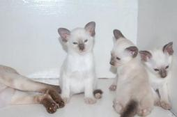 pictures of Siamese Kittens.jpg