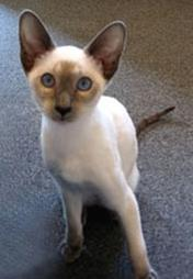 pretty Siamese kitten with big blue eyes.jpg