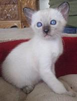 Seal point Siamese kitten.jpg