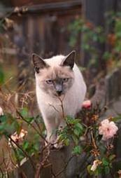 Siamese cat in the garden.jpg