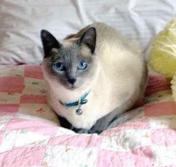 Siamese cat with beautiful blue eyes.jpg