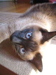 Siamese cat with blue eyes.jpg
