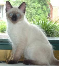 Siamese cat with brown dot on the nose.jpg