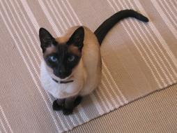 Siamese cat with dark brown.jpg