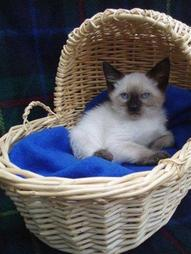 Siamese kitten backet.jpg