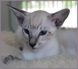 Siamese kitten face with big ears photo.jpg