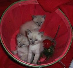 Siamese kitten in basket.jpg