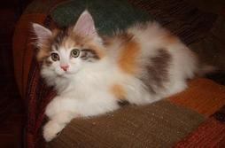 fury American Bobtail kitten in tan, white and black