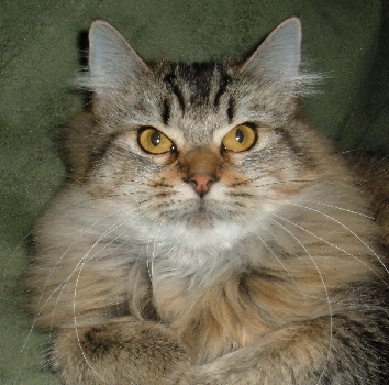 long fure American Bobtail cat