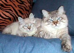 two American Bobtail cats