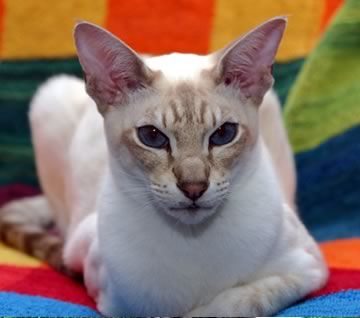 Black And White Abyssinian Cat
