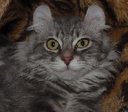 American Curl cat face in gray with black stripes white dots