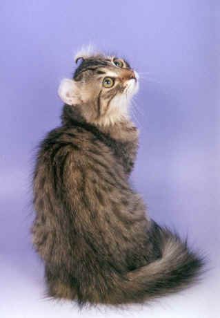 American Curl cat from the back