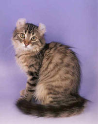 American Curl cat in black, tan, white