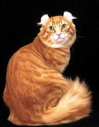 American Curl cat in golden with white dots