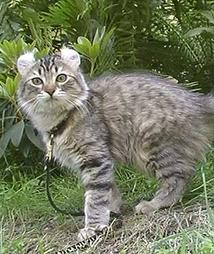 American Curl cat in nature