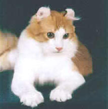 american curl cat in white and tan