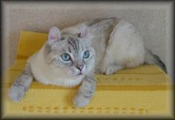 American Curl cat with beige color